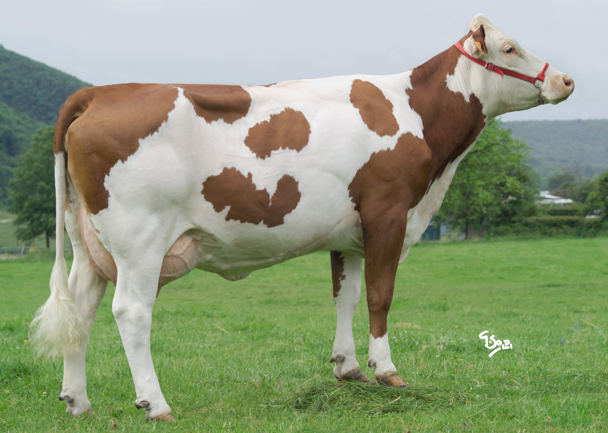 Auzred Xb Montbeliarde Daughters Photo Gallery