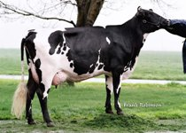 Swedish Red x Holstein