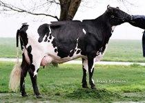 Swedish Red x Holstein