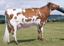 Swedish Red x Montbeliarde x Holstein